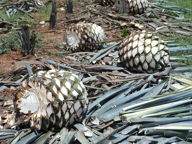 agave pinas in field